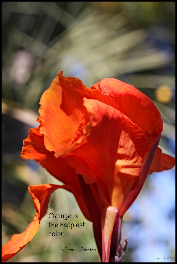 Colorful Canna by madamelucy