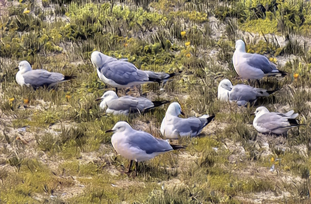 Resting and preening gulls by ludwigsdiana