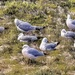 Resting and preening gulls