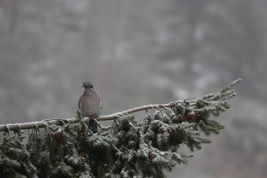 Posing Pigeon by jamibann
