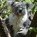 This koala woke up for me! by johnfalconer