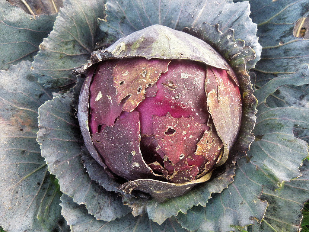 Last red cabbage standing by etienne