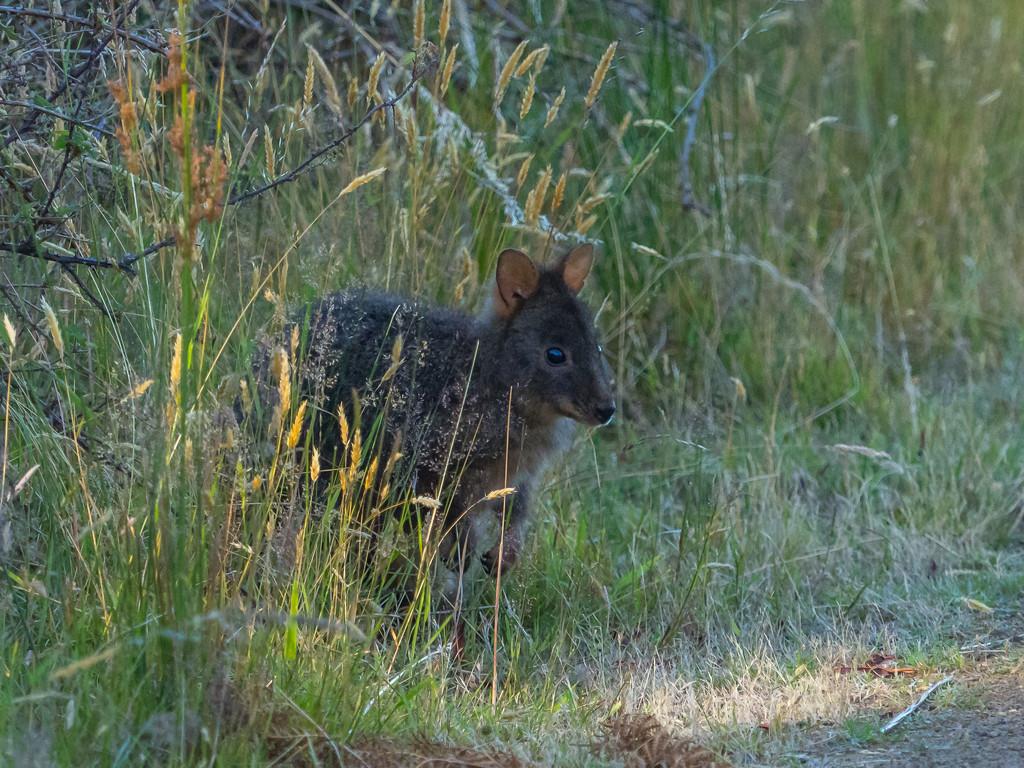 Shy Wallaby by gosia