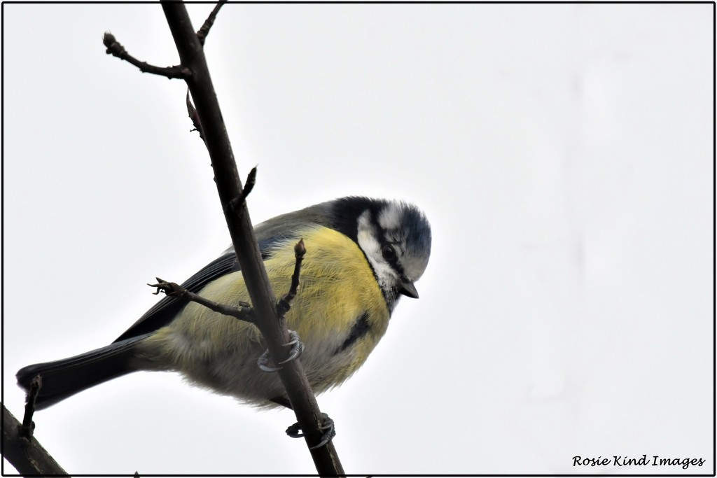 Little blue tit by rosiekind