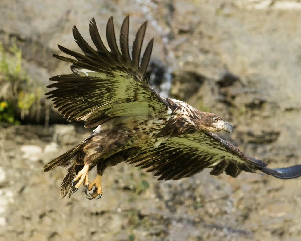 Golden Eagle Taking Off by photograndma