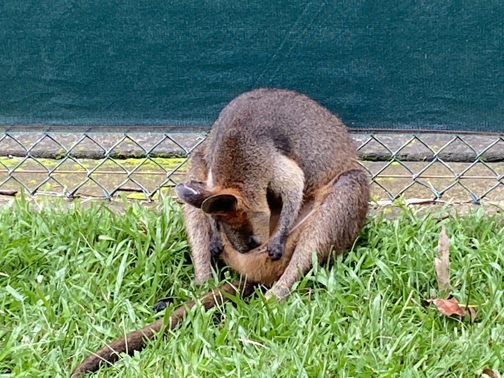 Wallaby by sugarmuser