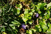 22nd Jan 2021 - Shrinking Violets