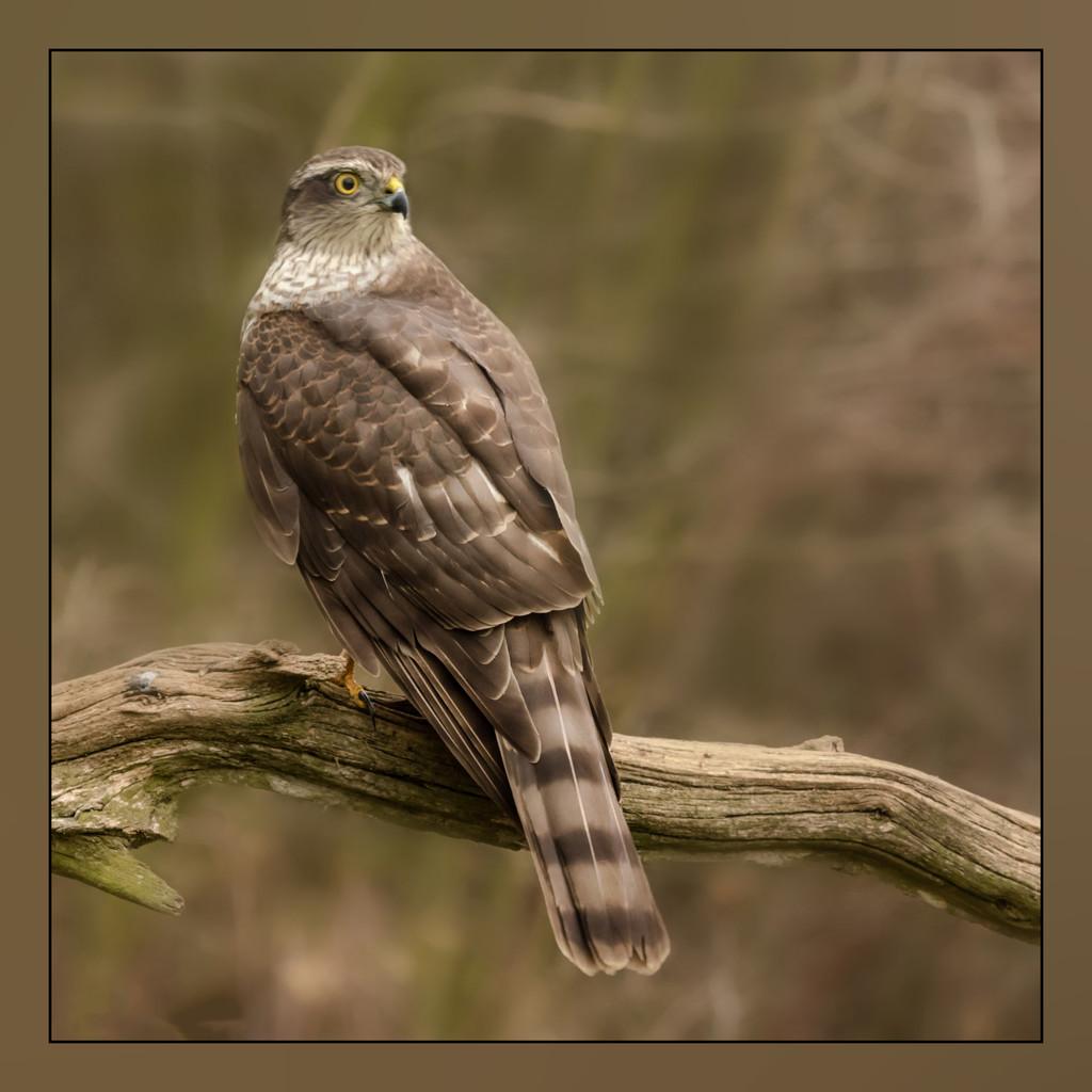Sparrowhawk by shepherdmanswife