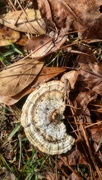 22nd Jan 2021 - Gilled Polypore...