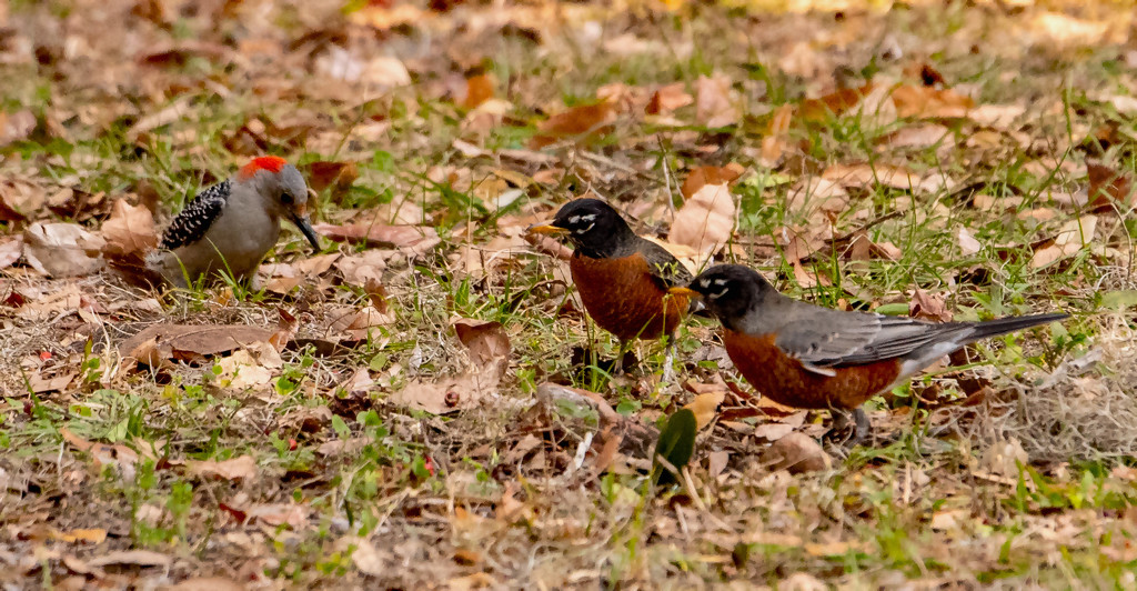 Robins and Woodpecker! by rickster549