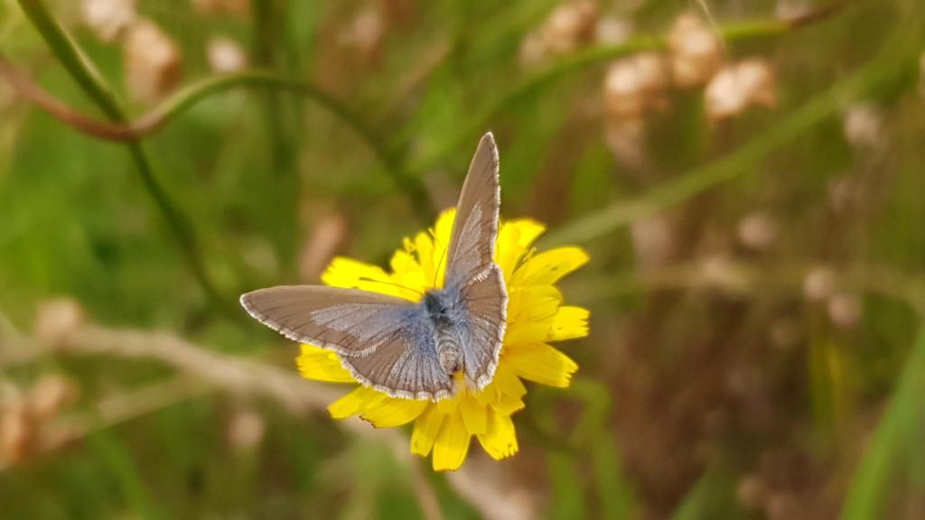 Grass Blue Butterfly  by julianneovie