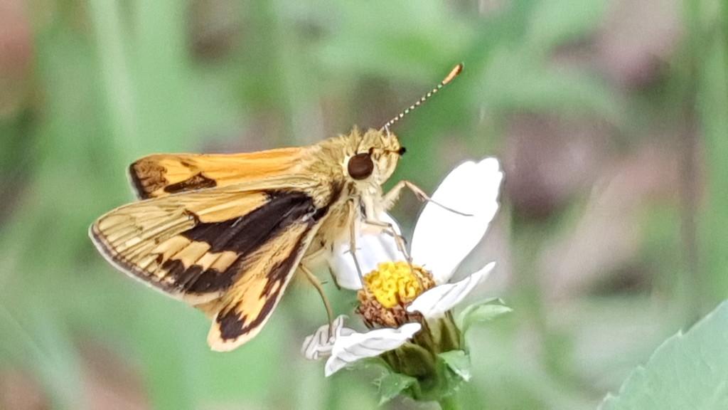 Skipper butterfly  by julianneovie