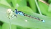 11th Jan 2021 - Blue dragonfly