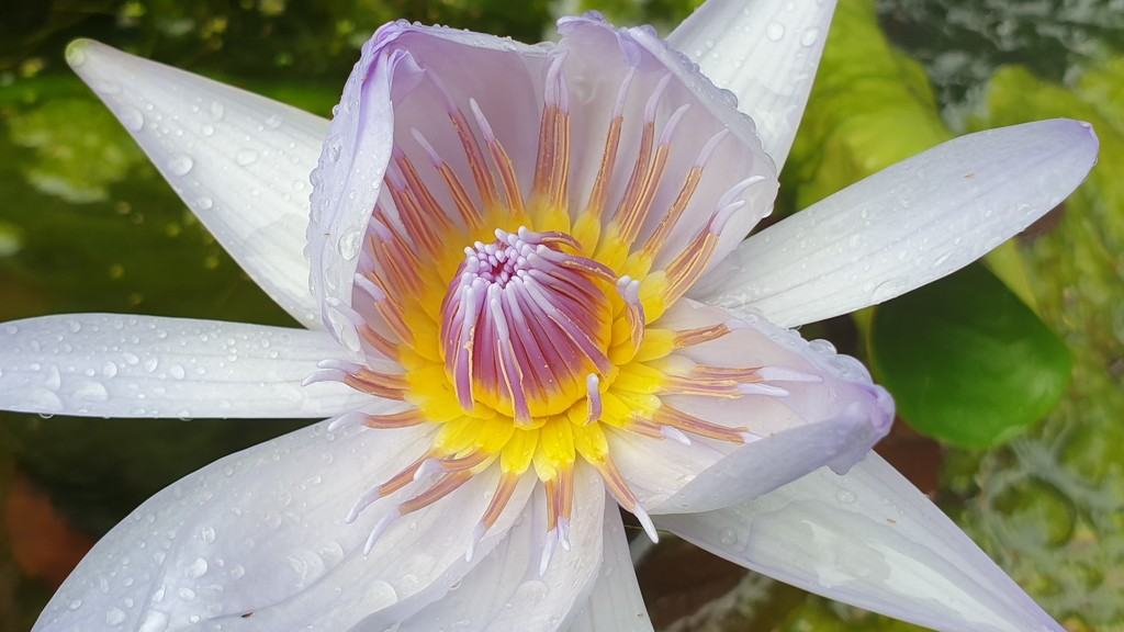 Close up of Water Lily by julianneovie