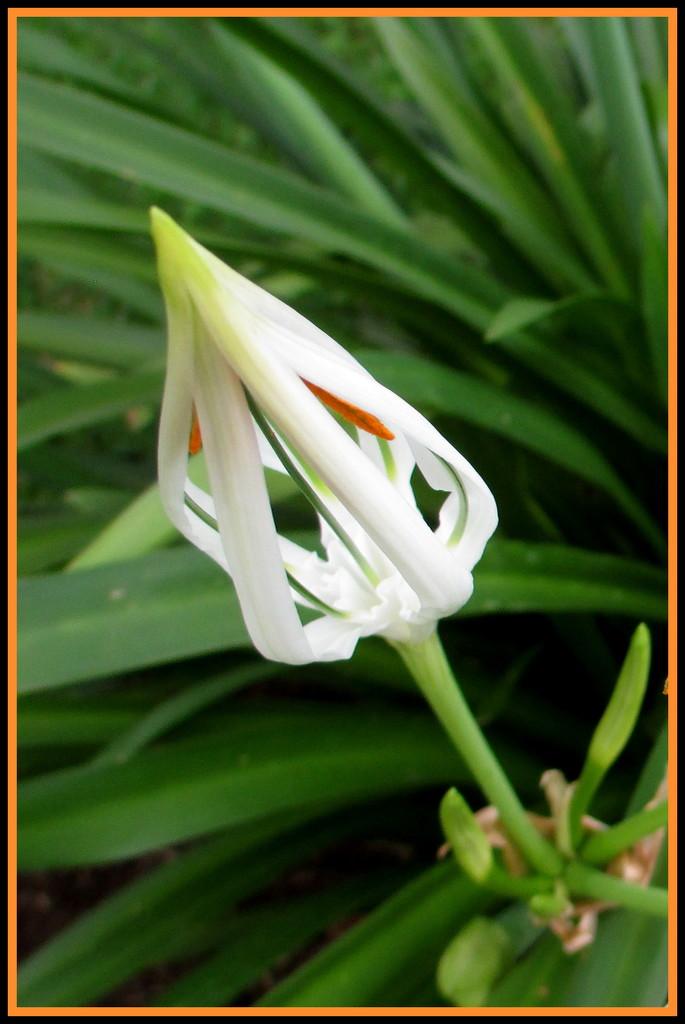 Spider Lilly Bud in my garden by 777margo