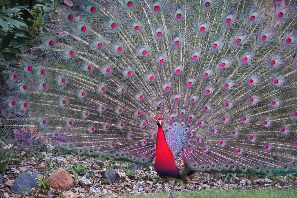 A rare red peacock by pusspup