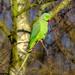 Parakeet 1 by 365nick