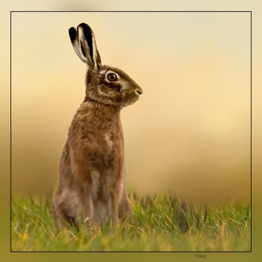 Hare by shepherdmanswife