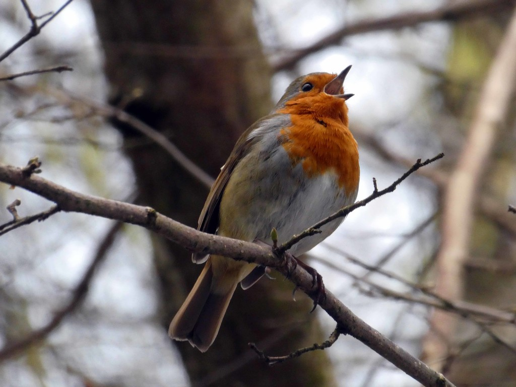 Little Robin Redbreast by cmp