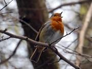 22nd Jan 2021 - Little Robin Redbreast