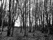 21st Jan 2021 - 21st Jan A Walk Through The Woods BW