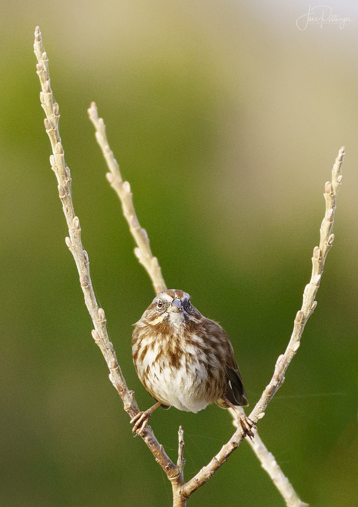 Sparrow with Legs Spread  by jgpittenger