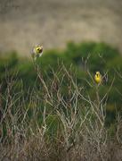 22nd Jan 2021 - Meadowlark Take Off