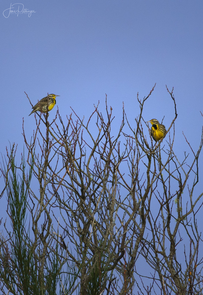 Meadowlarks Sitting Together  by jgpittenger