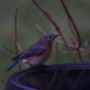 22nd Jan 2021 - Mrs. Bluebird has a sip