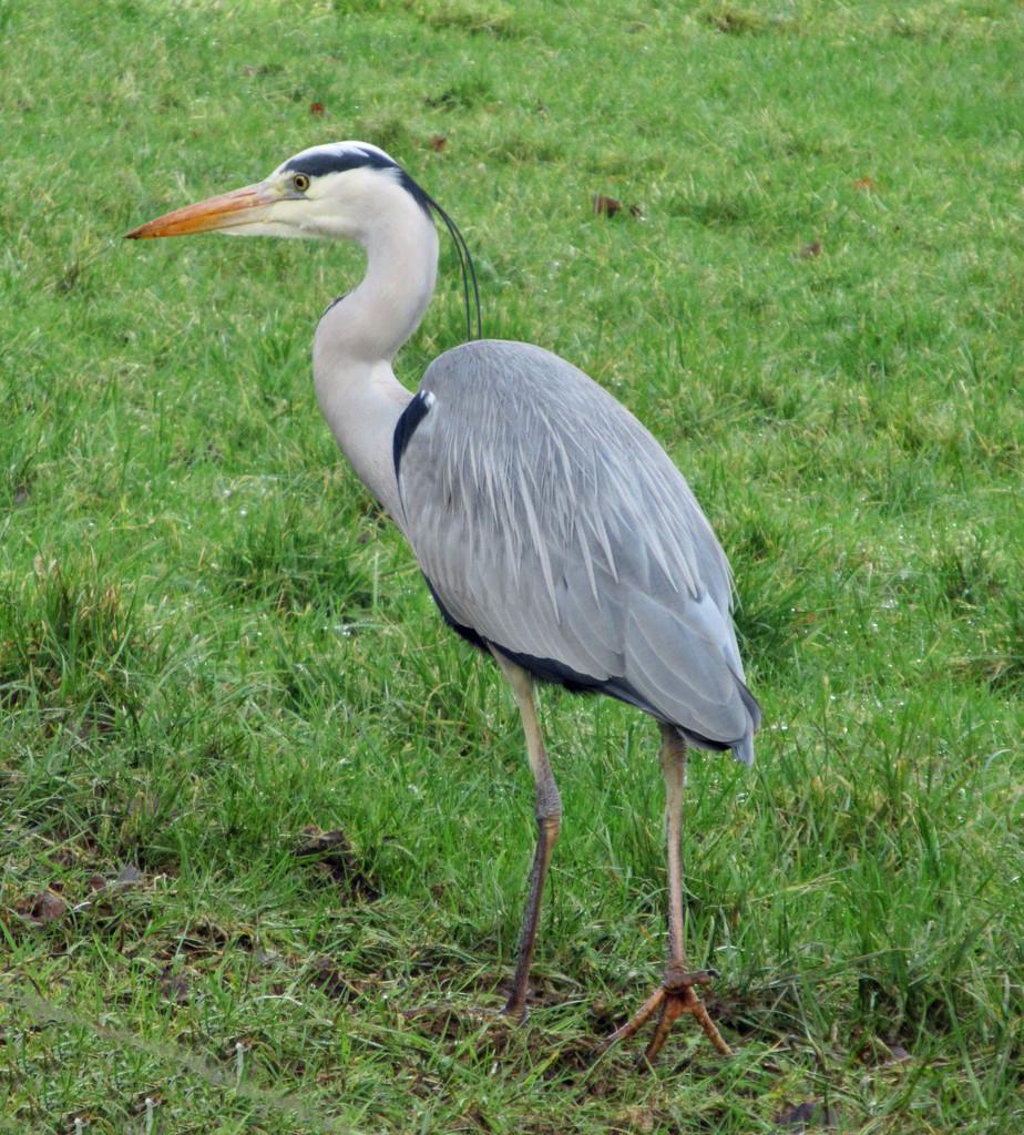 heron by anniesue