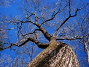 23rd Jan 2021 - Spanish oak...