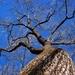 Spanish oak...