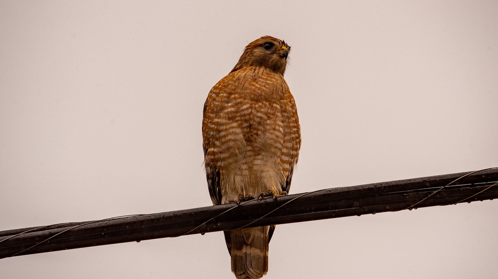 Red Shouldered Hawk on the High Wire! by rickster549