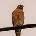 Red Shouldered Hawk on the High Wire!