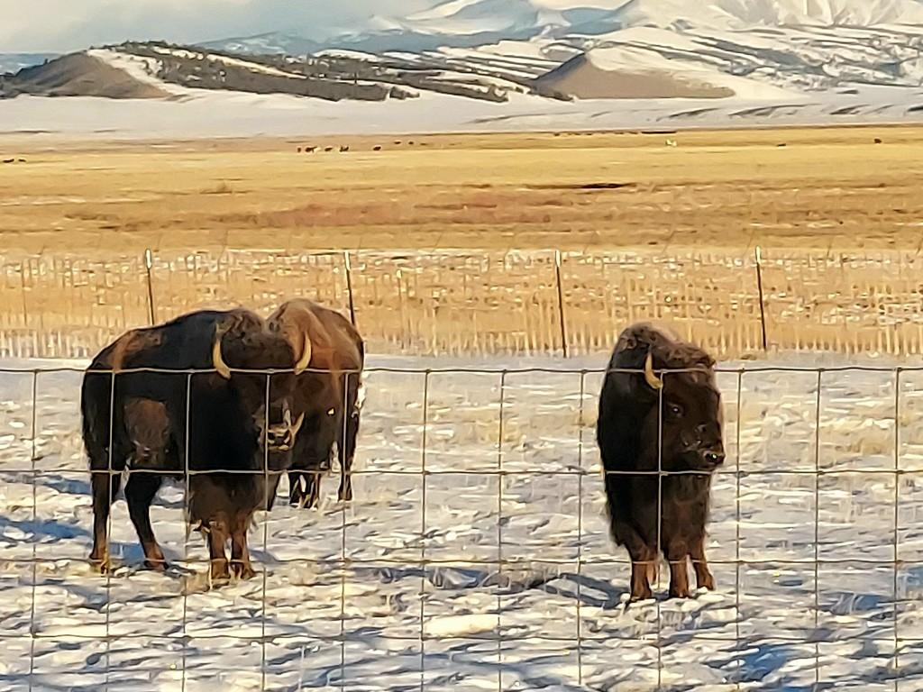 Buffalo by harbie