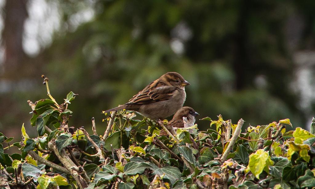 Sparrows by peadar
