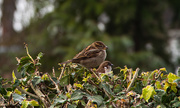 23rd Jan 2021 - Sparrows