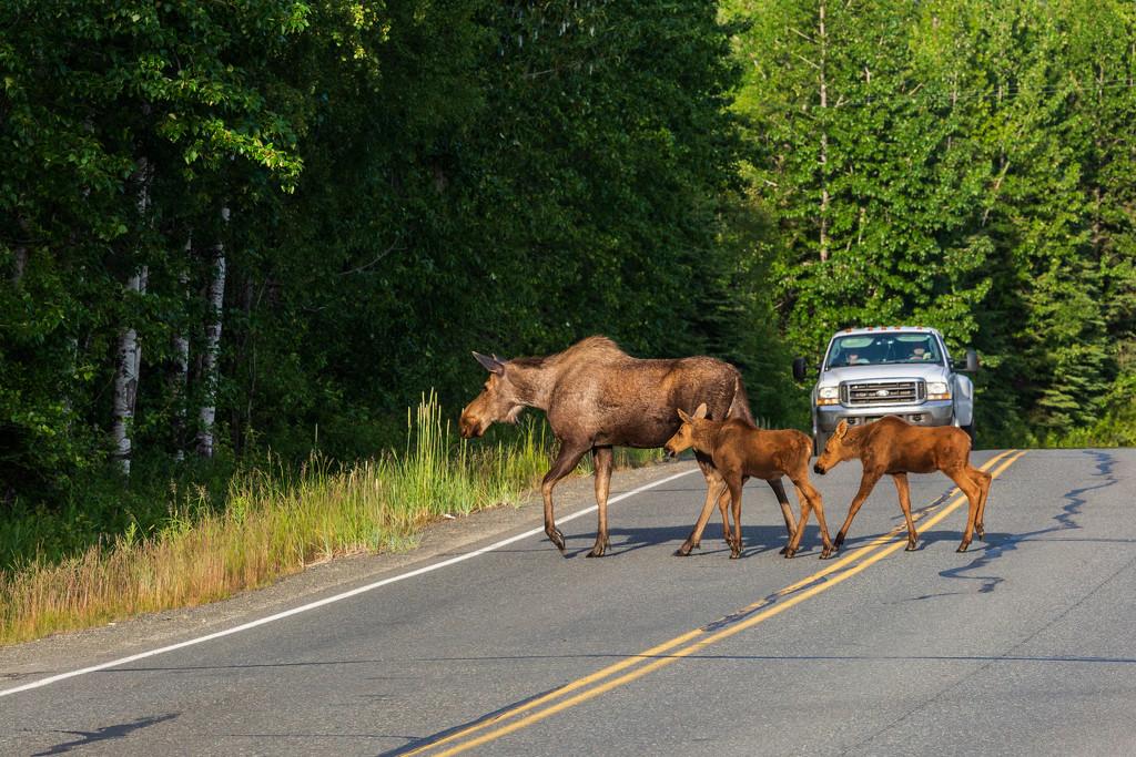 Moose Family by photograndma