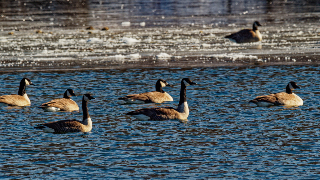 Canada geese in partially frozen river by rminer