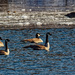 Canada geese in partially frozen river