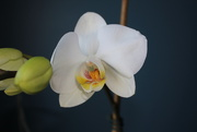 20th Jan 2021 - Orchid bloom