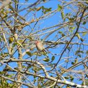 23rd Jan 2021 - House Finch In Tree