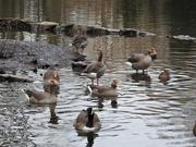 17th Jan 2021 - Geese