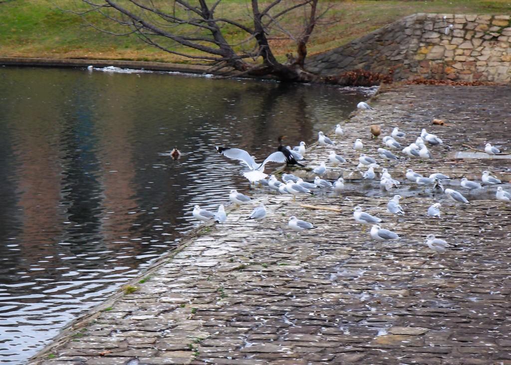 Pigeons by judyc57