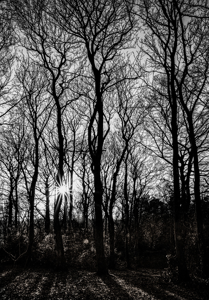Tall trees by inthecloud5