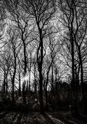 21st Jan 2021 - Tall trees