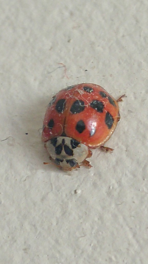 NOT our little lady bug... by marlboromaam