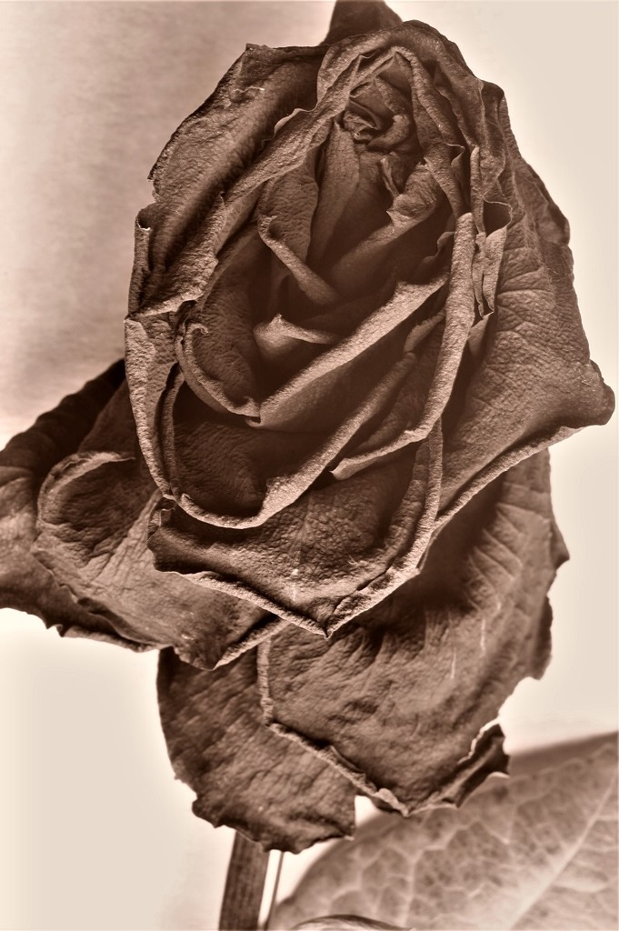 Sepia Rose by granagringa