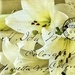 St Josephs Lilies