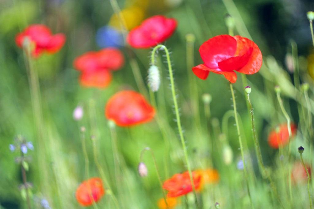 poppies by kali66